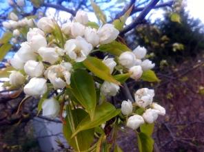 Ussurinpäärynä kukkii toukokuussa.
